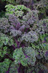 Kale 'Curly Scarlet'. Brassica oleracea var. Capitata