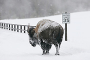 01/08/2005 - Yellowstone National Park, Wyoming - Bison - Buffalo - Humor - Man and Nature - American Bison - A bison in Yellowstone National Park sets to cross a bridge at a speed much slower than the posted speed limit...JACK HOWARD PHOTOGRAPH