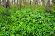 Carolinian Forest in spring<br /> Point Pelee National Park<br /> Ontario<br /> Canada