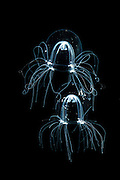 Comb Jellies, North Sea, Germany / (Bougainvillia britannica) [size of single organism: 4mm]  Medusen, Nordsee, Deutschland