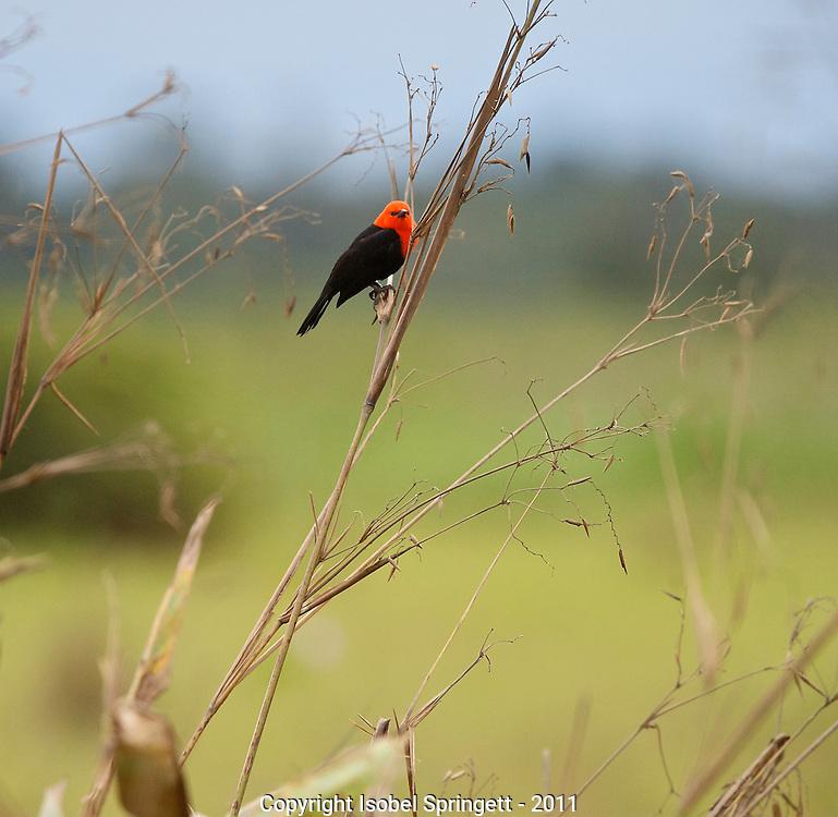 Scarlet-headed Blackbird.  (Amblyramphus holosericeus), Courtenay, Matto Grosso, Brazil, Isobel Springett