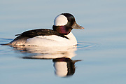 Bufflehead; Bucephala albeola, male, Saginaw Bay, Michigan