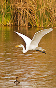 Great Egret in flight over the waters of the Sepulveda Basin in California.