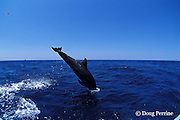 bottlenose dolphin, Tursiops truncatus (c-r)<br /> jump sequence (#4 of 4)<br /> Roatan, Honduras ( Caribbean Sea )
