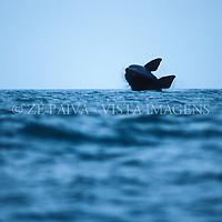 Baleia-franca na Area de Protecao Ambiental da baleia-franca, Imbituba, litoral sul de Santa Catarina, Brasil. foto de Ze Paiva/Vista Imagens