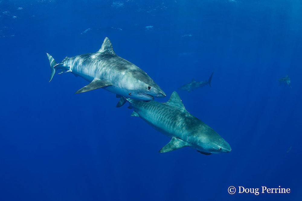 tiger sharks, Galeocerdo cuvier, North Shore, Oahu, Hawaii, USA ( Central Pacific Ocean ); upper shark carries a parasitic leech, Stibarobdella macrothela, on chin, while lower shark carries a remora or sharksucker