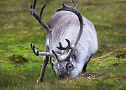 A reindeer is fattening up for winter by grazing on the green grass at Alkhornet Svalbard.  This was one of the few places we saw green grass as it is below cliffs where nesting birds have fertilized it over the centuries.