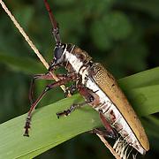 Batocera numitor ferruginea longhorn beetle in Khao Khieo Wildlife Sanctuary.