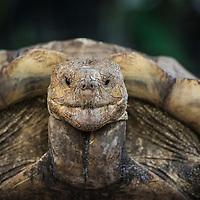 Galapagos tortoises, Chelonoidis nigra