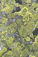 Map lichen (Rhizocarpon geographicum) on a rock, Niederhorn, Interlaken, Berne, Switzerland