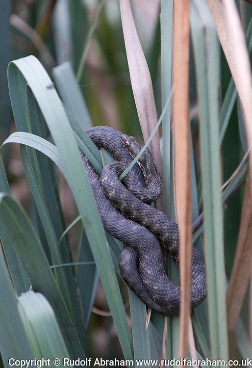 Dice Snake (Natrix tessellata), Plitvicka jezera (Plitvice Lakes) national park, Croatia