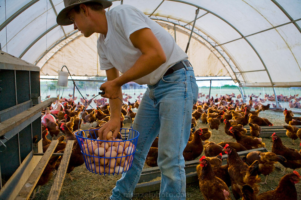 Farmer Joel Salatin's apprentice, Andy Wendt gathers eggs inside a portable henhouse, which is moved to a fresh section of pasture every few days at the Salatins farm in Shenandoah, Virginia. (From the book What I Eat: Around the World in 80 Diets.)