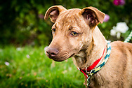 Portrait of brown pit bull puppy outdoors.