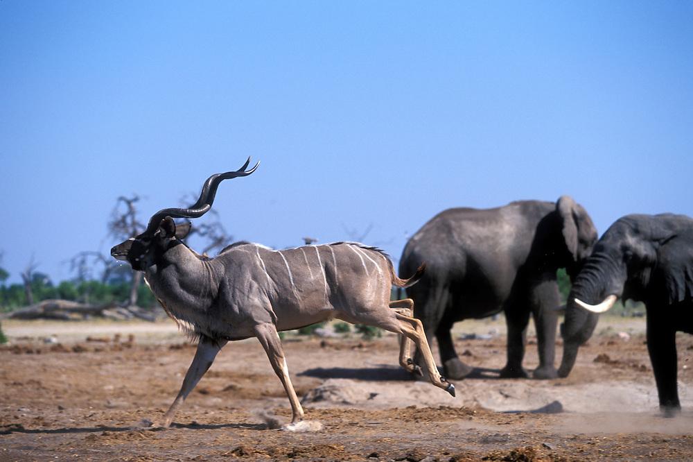 Botswana, Chobe National Park, Herd of Greater Kudu (Tragelaphus strepsiceros) run past Elephant herd at water hole