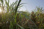 Worker harvests sugarcane in Hapur District in Uttar Pradesh, India on April 3, 2014. Uttar Pradesh is the 2nd largest sugar production state in India following Maharashtra. <br /> (Kuni Takahashi/Bloomberg)