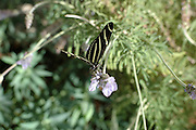 Desert Botanical Gardens Butterfly Exhibit 2006