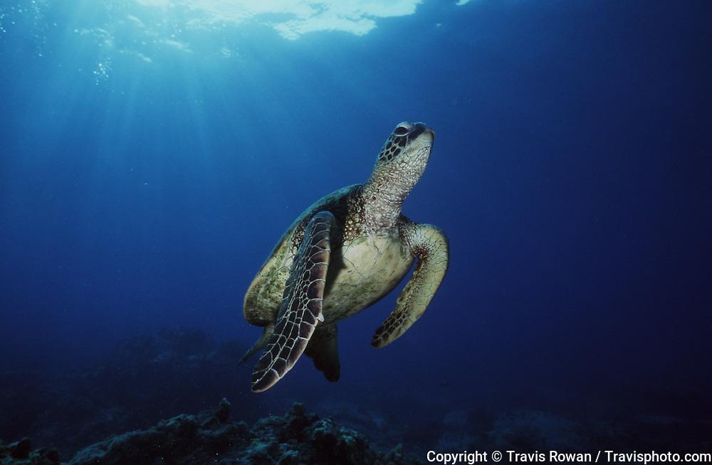 A Hawaiian Green Sea turtle hovers over a reef on the Kona Coast, Hawaii.