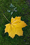 A yellow Norway Maple leaf (Acer platanoides) has fallen onto a bed of moss in Belmont, Massachusetts.