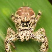 Hyllus sp. Jumping Spider. The jumping spider family (Salticidae) contains more than 500 described genera and about 5,000 described species, making it the largest family of spiders with about 13% of all species. Jumping spiders have some of the best vision among arthropods and use it in courtship, hunting, and navigation.