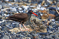 Oystercatcher with chicks in coastal Alaska
