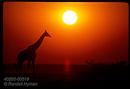 Orange sunset silhouettes a giraffe as it walks along the Etosha Pan in Etosha National Park. Namibia