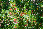 Red berries of a lush green bush Photographed in the Pyrenees Mountains, Spain