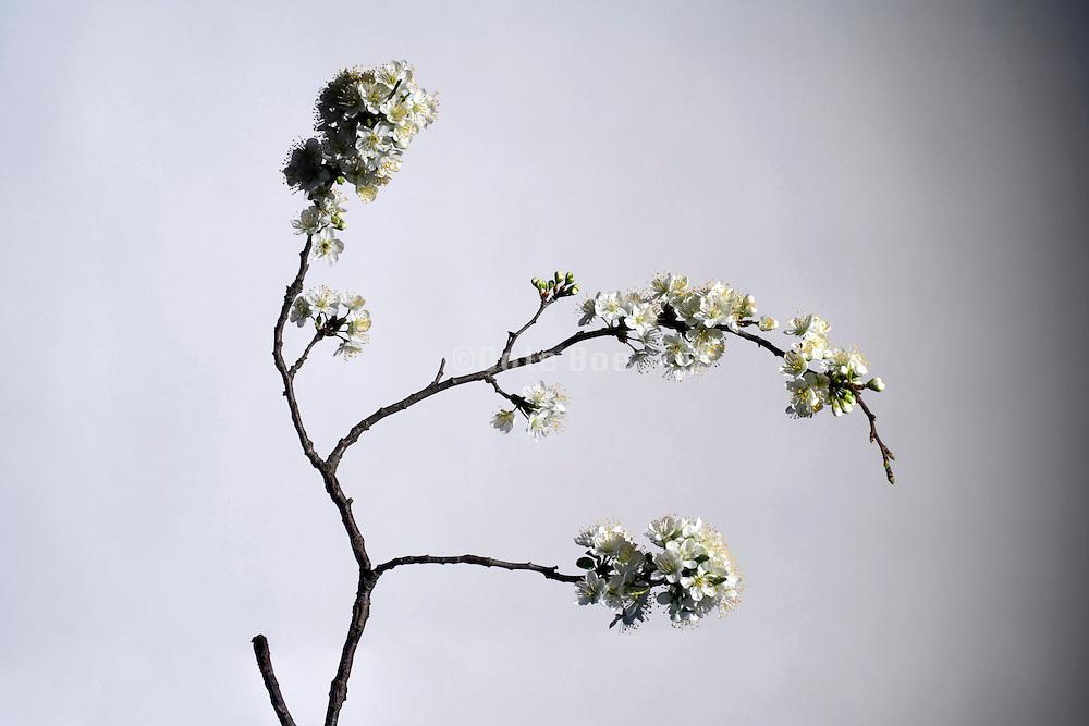 studio still life of flowering European cherry blossom