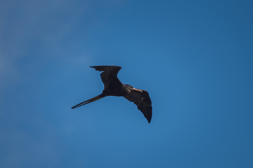 A firgatebird soars effortless in the sky, Santa Cruz, Galapagos, Ecuador.