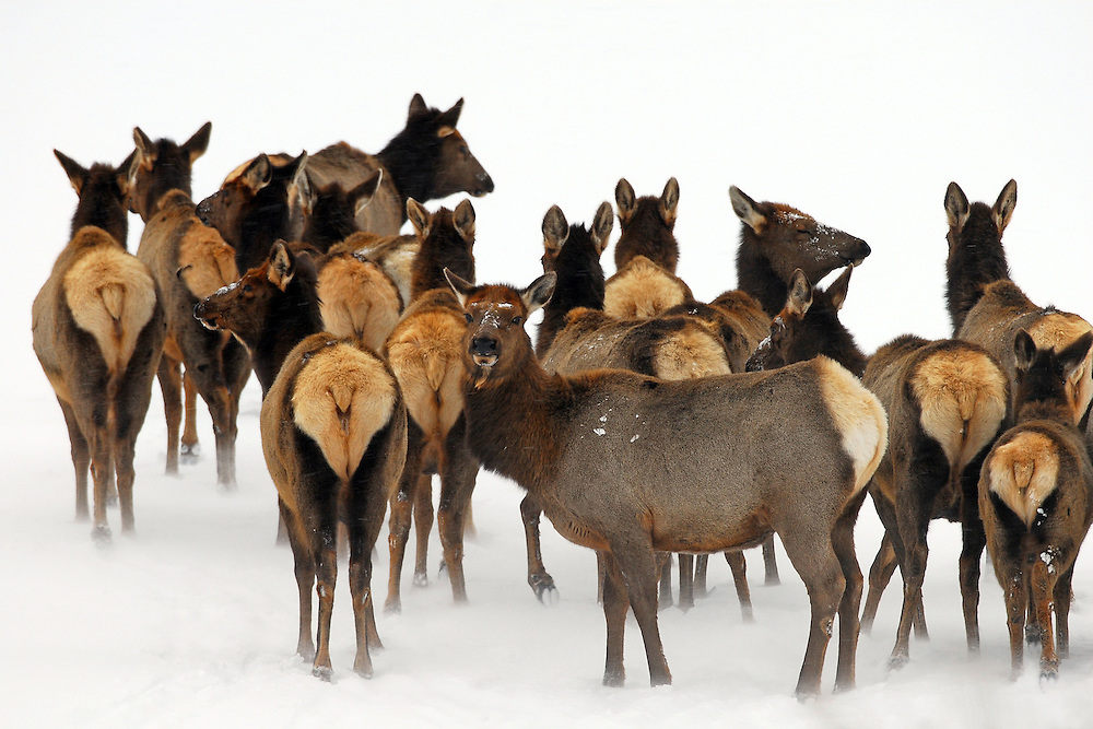 A herd of elk wait out a windstorm in the Shoshone National Forest. Elk migrate to this low elevation area to spend their winter but must constantly  face the harsh Wyoming winds, which blow incessantly this time of year.