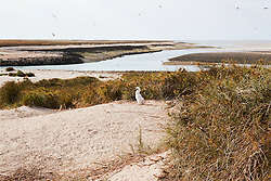 A Brown booby chick (Sula leucogaster) on the Lacepede Islands to the north of Broome.  The Lacepedes area a major seabird breeding area.
