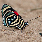 Hesperis Eighty-eight butterfly, Cristalino Jungle lodge Conservation Area, Amazon Brazil
