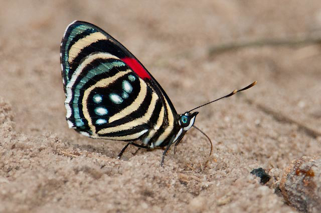 Hesperis Eighty-eight butterfly, Cristalino Jungle lodge Conservation Area, Amazon Brazil