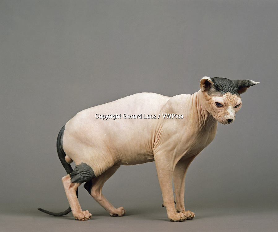 SPHYNX DOMESTIC CAT, CAT BREED WITH NO HAIR, MALE AGAINST GREY BACKGROUND