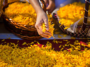 """02 JANUARY 2015 - KHLONG LUANG, PATHUM THANI, THAILAND: A person places marigolds onto the monks' footpath at Wat Phra Dhammakaya at the start of the 4th annual Dhammachai Dhutanaga (a dhutanga is a """"wandering"""" and translated as pilgrimage). More than 1,100 monks are participating in a 450 kilometer (280 miles) long pilgrimage, which is going through six provinces in central Thailand. The purpose of the pilgrimage is to pay homage to the Buddha, preserve Buddhist culture, welcome the new year, and """"develop virtuous Buddhist youth leaders."""" Wat Phra Dhammakaya is the largest Buddhist temple in Thailand and the center of the Dhammakaya movement, a Buddhist sect founded in the 1970s.   PHOTO BY JACK KURTZ"""