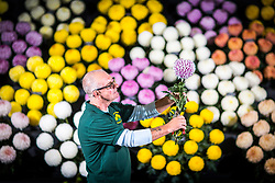 © Licensed to London News Pictures. 14/09/2017. Harrogate UK. Terry Staples put's the finishing touches to his Chrysanthmums flower exhibition on staging day for the Autumn Harrogate Flower show that starts tomorrow at the Great Yorkshire show ground. Photo credit: Andrew McCaren/LNP