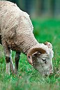 Merino Sheep, Invercargill, New Zealand