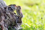 House sparrow (Passer domesticus), female feeding a large chick. Photo from Hidra, south-western Norway.