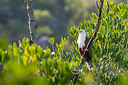 Brahminy kite (Haliastur indus) perches on a tree along the Hunter River in the Kimberley region of Western Australia.