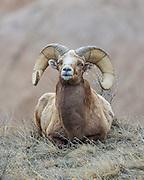 Rocky Mountain Bighorn Sheep bedded in Habitat