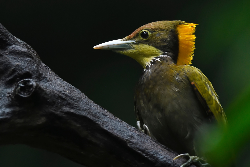 Greater yellow-naped woodpecker bird, Picus flavinucha, sitting on a branch at Tongbiguan nature reserve, Dehong Prefecture, Yunnan Province, China