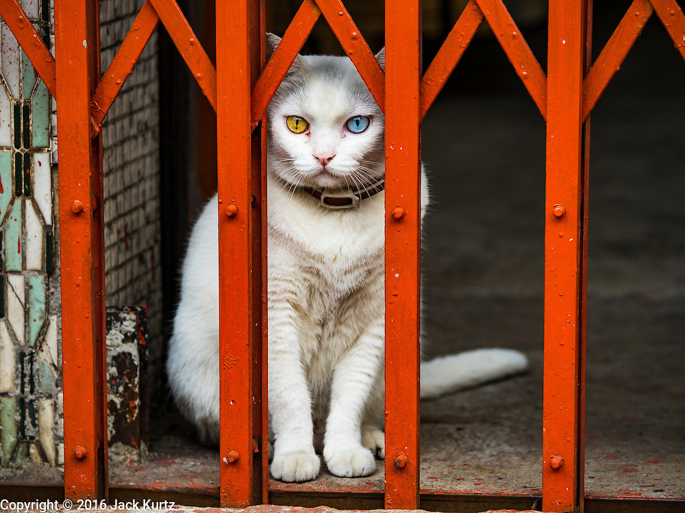 28 SEPTEMBER 2016 - BANGKOK, THAILAND:  An odd-eyed cat, with a yellow eye and a blue eye. An odd eyed cat is a cat with one blue eye and one eye either green, yellow, or brown. This is a feline form of complete heterochromia, a condition that occurs in some other animals. The condition most commonly affects white-colored cats, but may be found in a cat of any color, provided that it possesses the white spotting gene. The odd-eyed coloring is caused when either the epistatic (dominant) white gene (which masks any other color genes and turns a cat completely white) or the white spotting gene (which is the gene responsible for bicolor and tuxedo cats) prevents melanin (pigment) granules from reaching one eye during development, resulting in a cat with one blue eye and one green, yellow, or brown eye. The condition only rarely occurs in cats that lack both the dominant white and the white spotting gene.   PHOTO BY JACK KURTZ