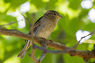 A female house sparrow perches on a branch in the shade