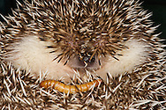 Hedgehog Close-Up,  Courtenay,  Comox Valley,  British Columbia,  Canada,  (Photographer;  Isobel Springett)