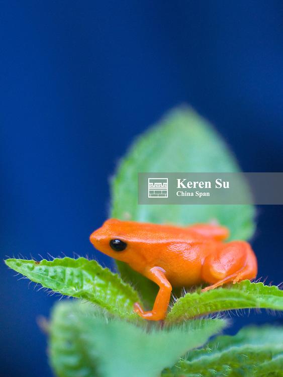 Golden mantella frog (Mantella auriantiaca), Madagascar
