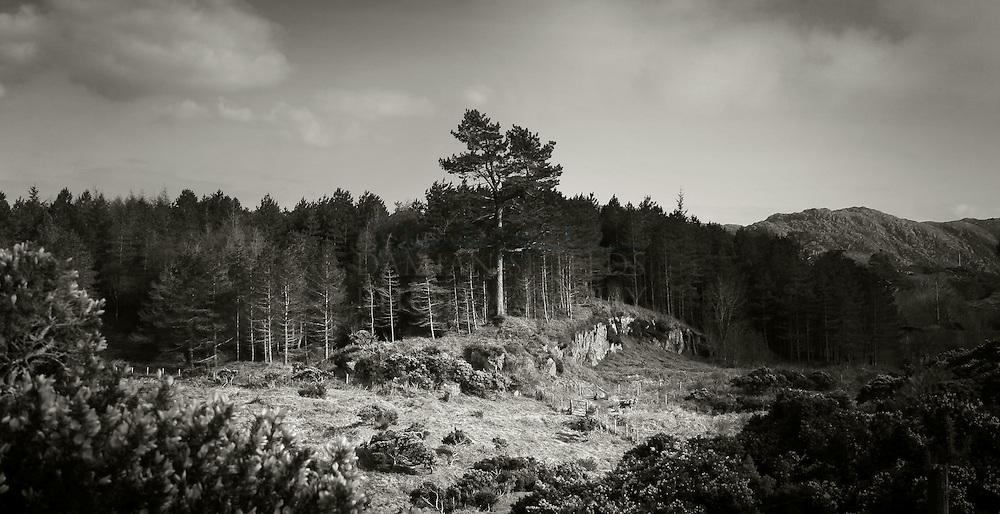 Scots pines, Silver sands, Morar, Highlands