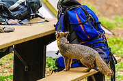 Island Fox and camping gear at Scorpion Campground, Santa Cruz Island, Channel Islands National Park, California USA