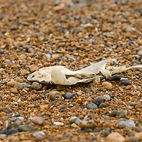 Dead fish on a shigle beach