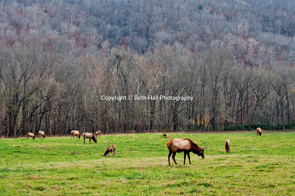 Elk graze in a field in Boxley valley Arkansas. Elk Fest in Jasper, Arkansas