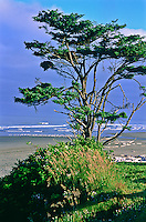 Sitka Spruce tree at Kalaloch Beach near Kalaloch Lodge.  Olympic National Park, Washington, USA.