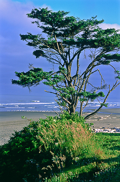 Sitka Spruce tree at Kalaloch Beach near Kalaloch Lodge.  Olympic National Park, Washington, USA.